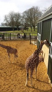 Whipsnade Zoo - giraffes. Photo credit © L Rowe 2015